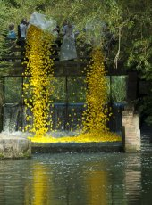 8000 ducks launched at the Cobham Mill weir